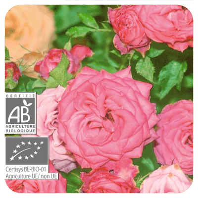 Rosa Damascena fiore olio essenziale